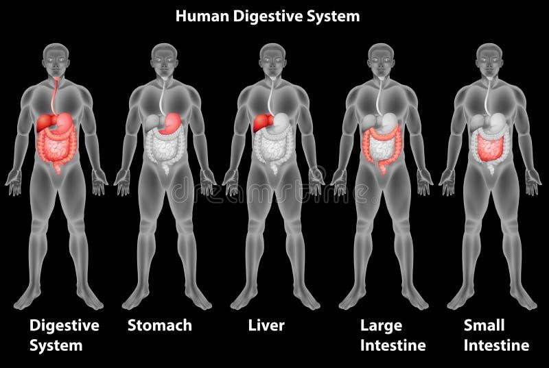Ludzki trawienny system ilustracja wektor