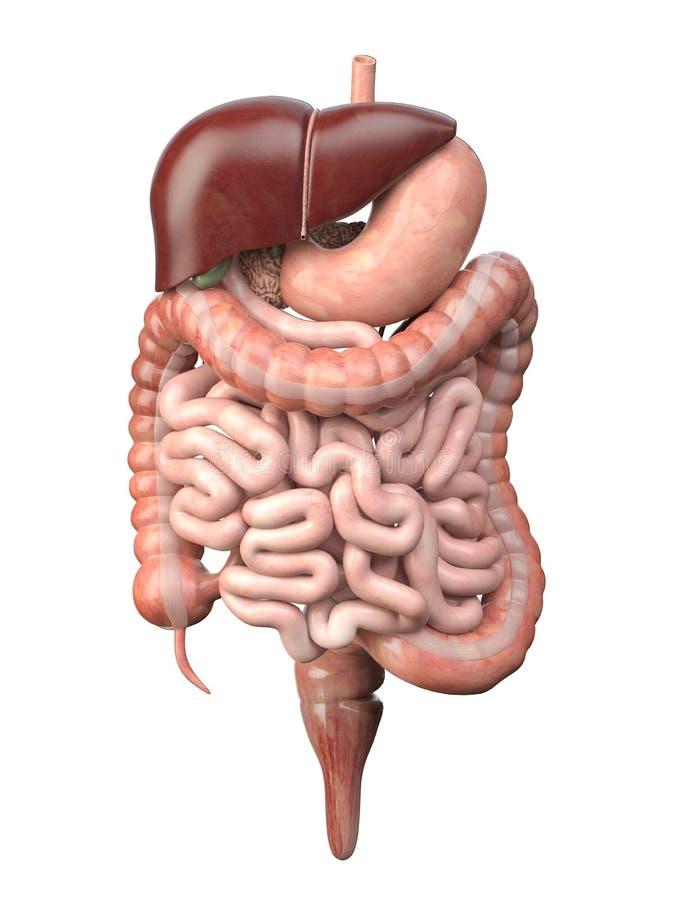 Ludzki trawienny system odizolowywaj?cy na bia?ym tle Anatomia, wewn?trzni organy ilustracji