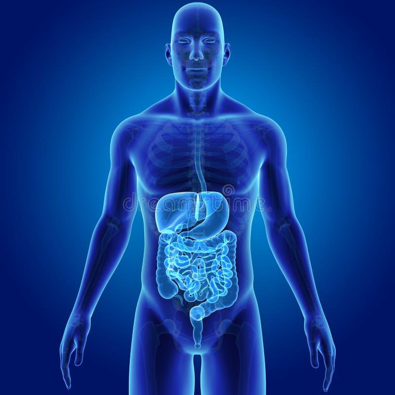 Ludzki Trawienny system z Zredukowanym Anterior widokiem ilustracja wektor