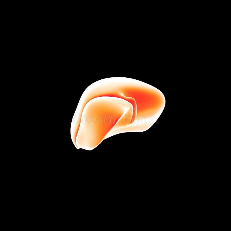 Ludzki Wątrobowy lateral widok ilustracja wektor