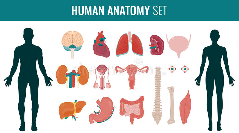 Ludzki wewnętrznego organu anatomii set wektor ilustracja wektor