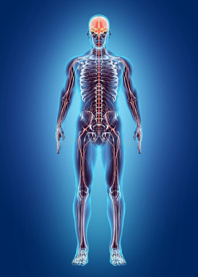 Ludzki Wewnętrzny system - układ nerwowy ilustracja wektor