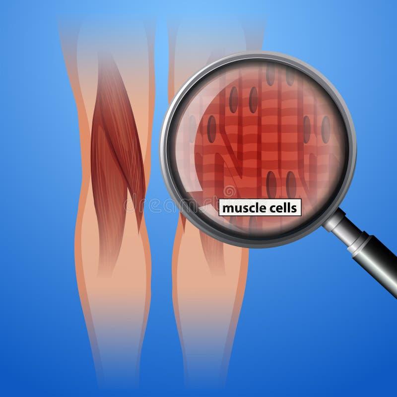 Ludzkie anatomia mięśnia komórki royalty ilustracja