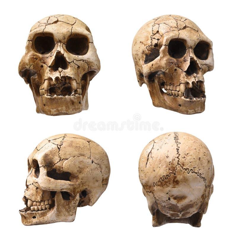 ludzkie czaszki obraz stock