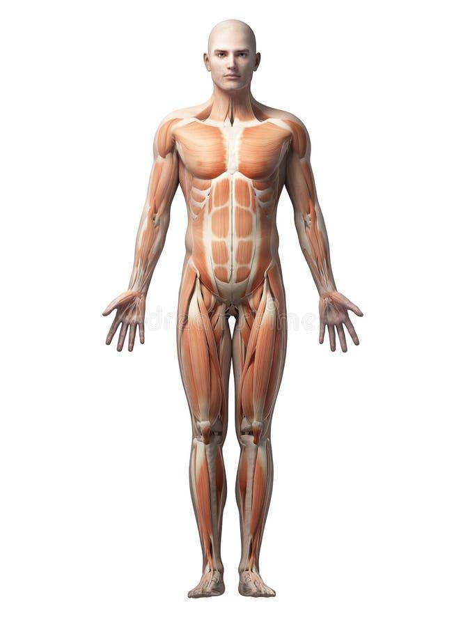 ludzkie mięśnie ilustracja wektor