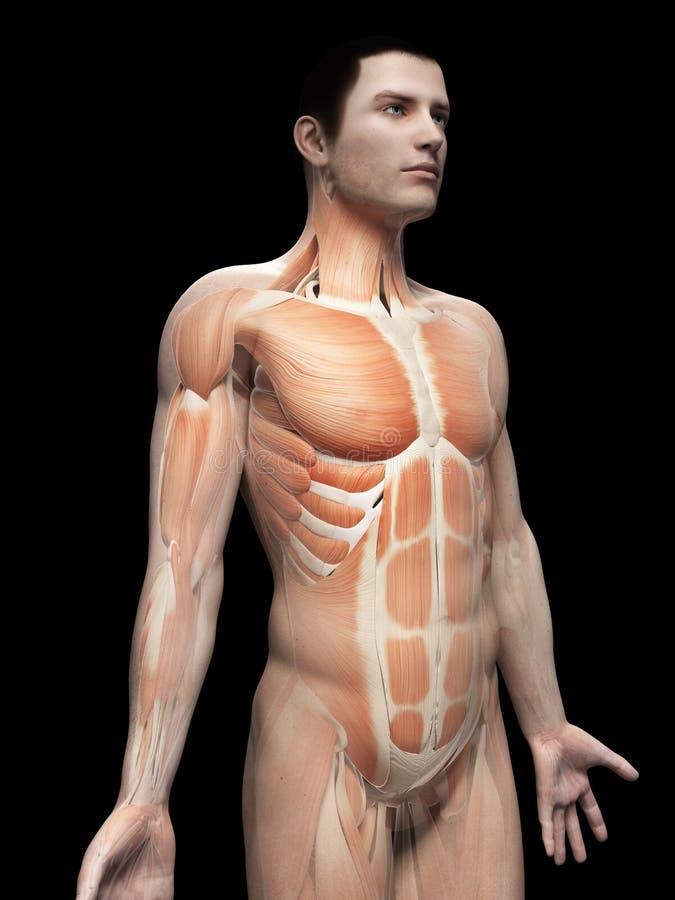 ludzkie mięśnie ilustracji