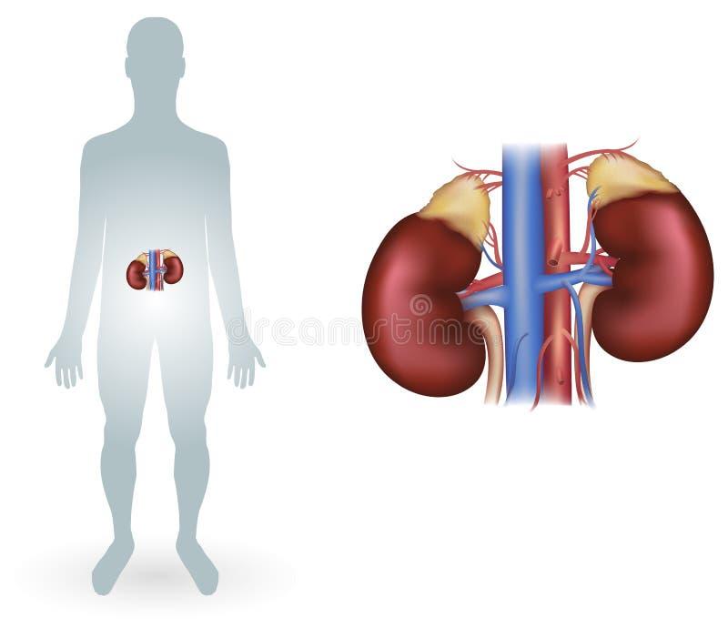 ludzkie nerki ilustracja wektor