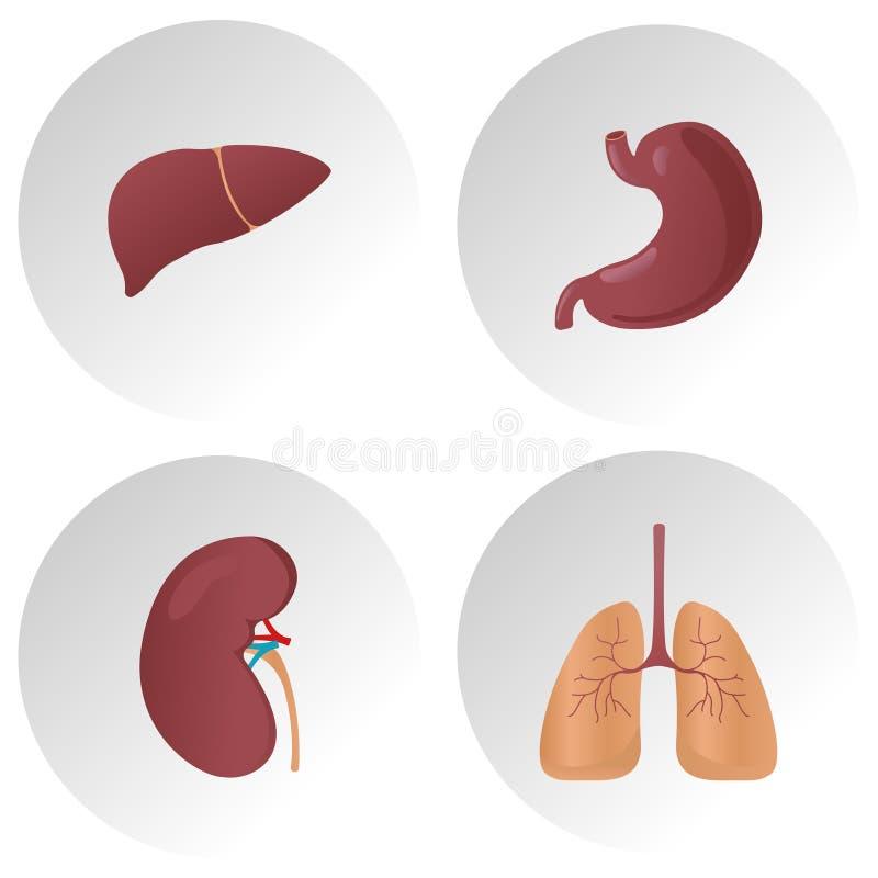 Ludzkie wewnętrznych organów płaskie wektorowe ikony Set zasadniczy organy, ilustracja płuca, wątróbka, żołądek, cynaderki organ royalty ilustracja