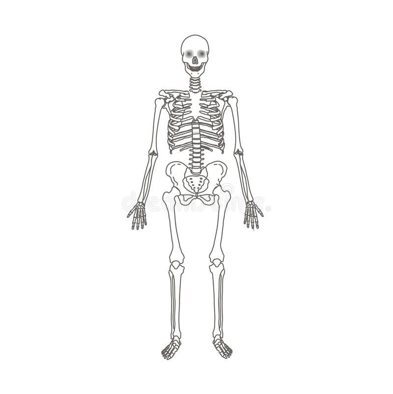 Ludzkiego kośca odosobniona płaska wektorowa ilustracja ilustracji