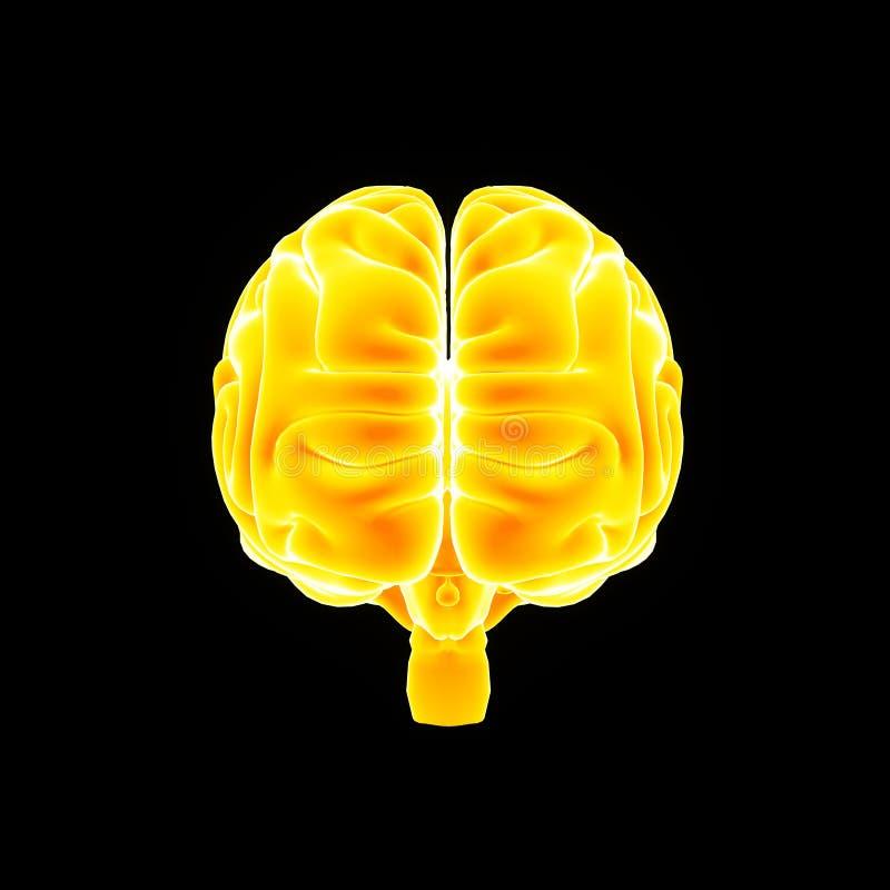 Ludzkiego Mózg anterior widok ilustracja wektor
