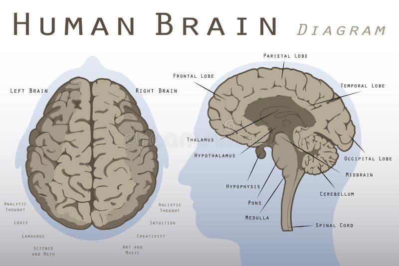 Ludzkiego Mózg diagram ilustracja wektor