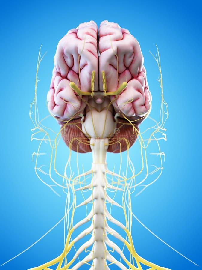 Ludzkiego mózg i głowy nerwy ilustracji