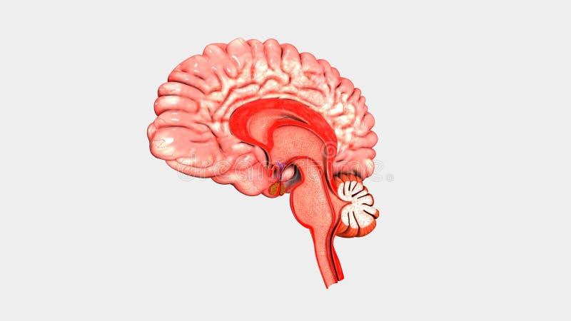Ludzkiego Mózg skrzyżowanie royalty ilustracja