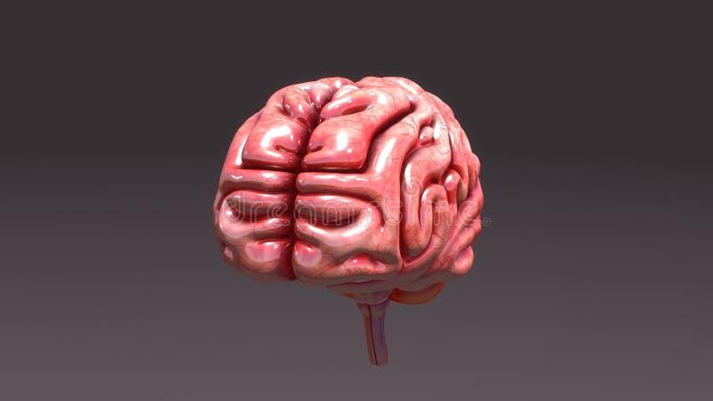 Ludzkiego Mózg widok z lotu ptaka ilustracja wektor