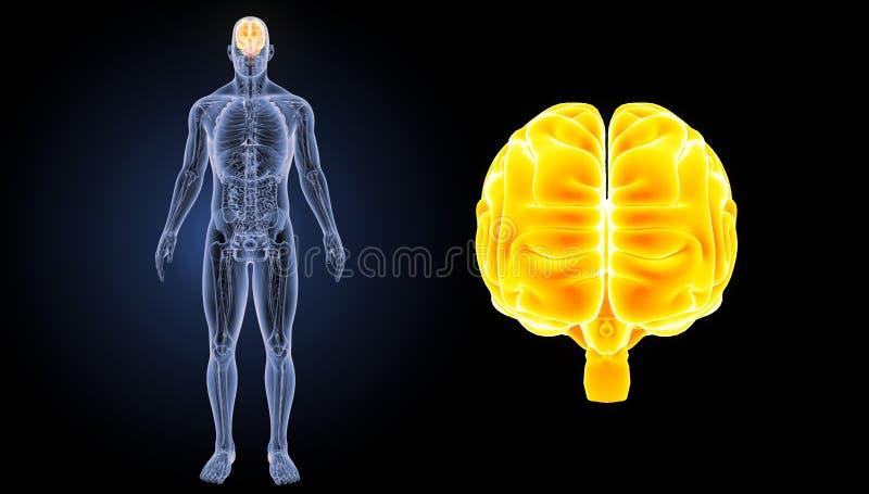 Ludzkiego Mózg zoom z anatomia anterior widokiem ilustracja wektor