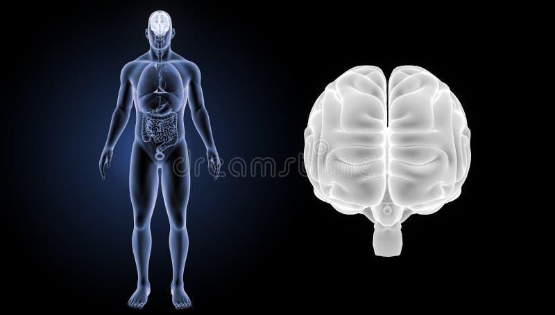 Ludzkiego Mózg zoom z organu anterior widokiem ilustracja wektor