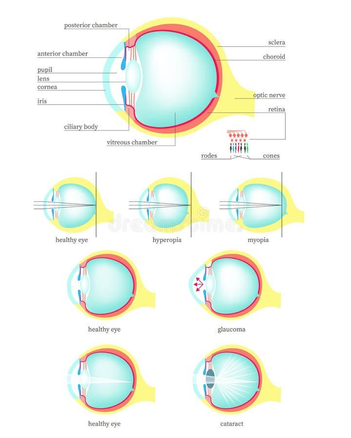 Ludzkiego oka anatomia, wektorowy mieszkanie odizolowywał ilustrację royalty ilustracja