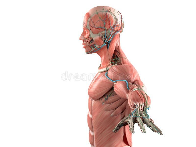 Ludzkiej anatomii boczny widok głowa na białym tle royalty ilustracja