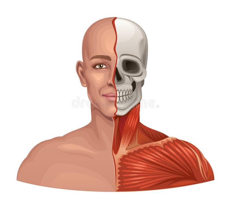 Ludzkiej anatomii twarzowi mięśnie i czaszka royalty ilustracja