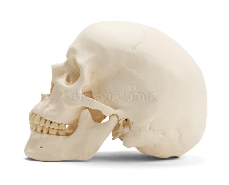Ludzkiej czaszki Boczny widok fotografia royalty free