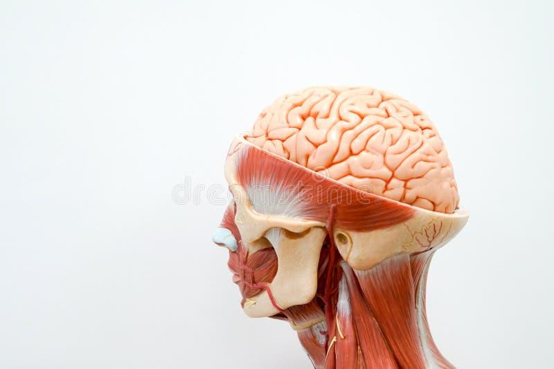 Ludzkiej głowy anatomii model fotografia stock