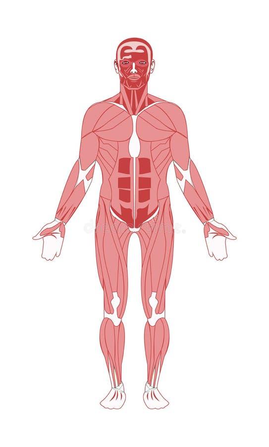 Ludzkiej męskiej anatomii mięśniowy system ilustracja wektor