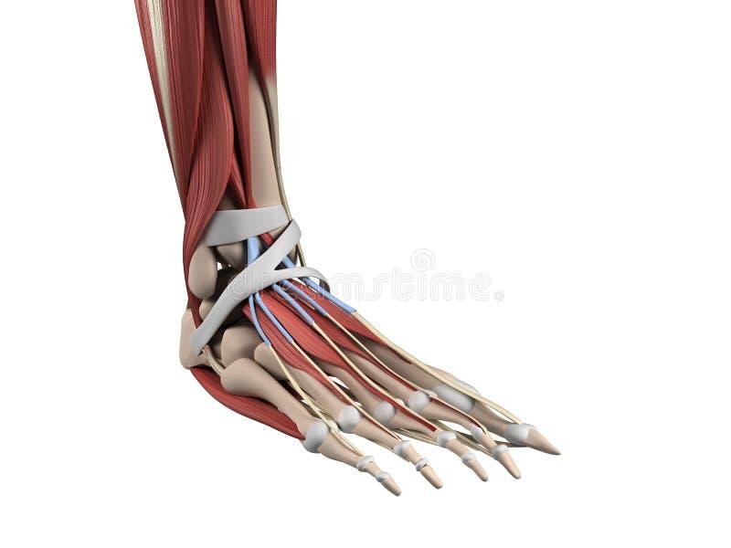 Ludzkiej stopy anatomia ilustracji