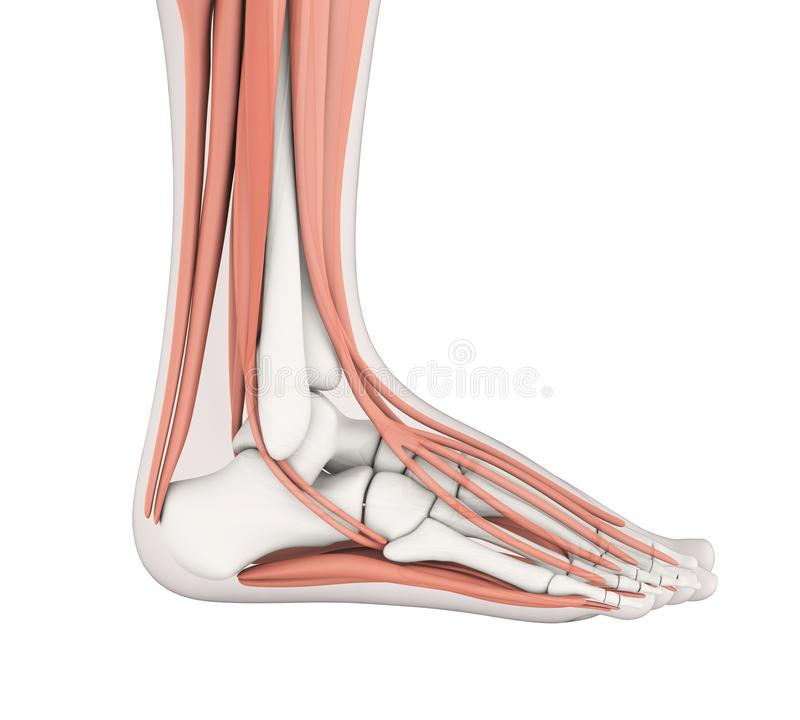 Ludzkiej stopy mięśni anatomia ilustracji