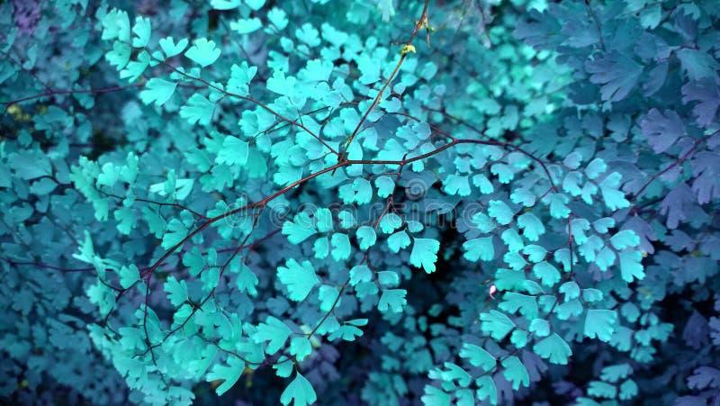 Lueur bleue tropicale de feuille à l'arrière-plan foncé photographie stock libre de droits