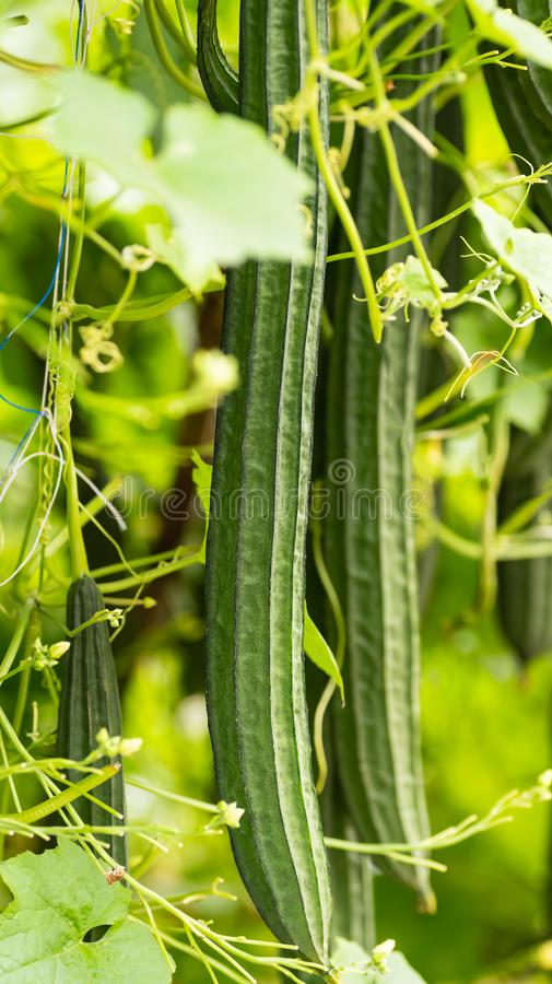Luffa金瓜或有角度的金瓜植物 免版税图库摄影