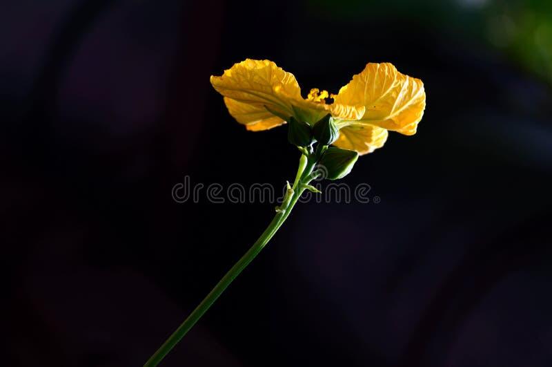 Luffa Blume stockbild