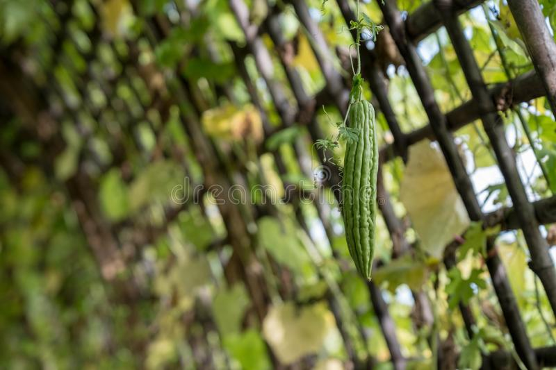 Luffa on the lath. Luffa on the lath in the garden. Luffa is a vegetable of Thailand stock image