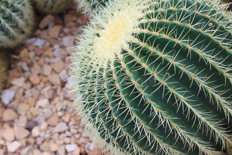 Lufowy kaktus w skalisty kształtować teren obraz royalty free