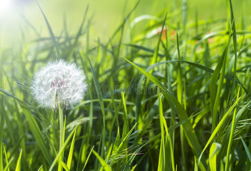 Lufta maskrosor på en grön äng i vår fotografering för bildbyråer