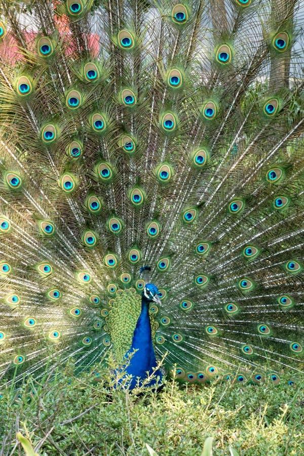 luftad påfågelsvan royaltyfri bild