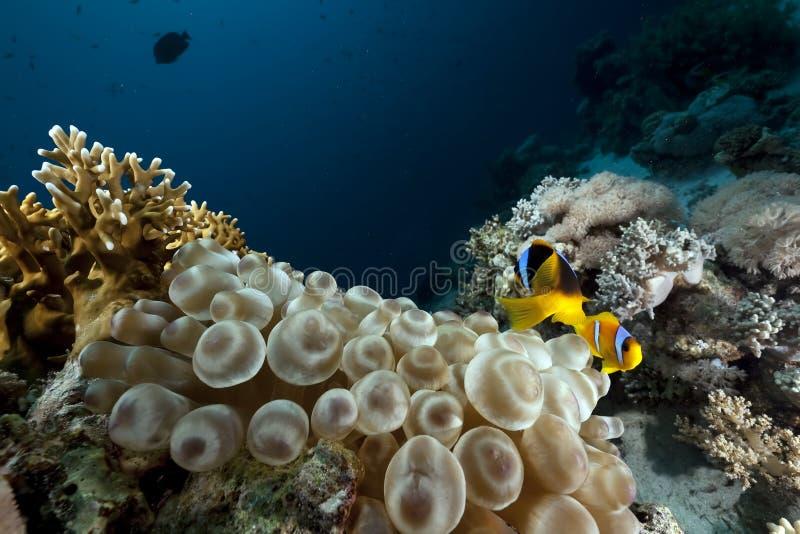 Download Luftblasenanemone, -ozean Und -koralle Stockbild - Bild von ozean, versenkt: 12200091