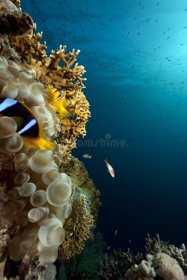 Download Luftblasenanemone, -ozean Und -koralle Stockbild - Bild von tauchen, sonne: 12200111