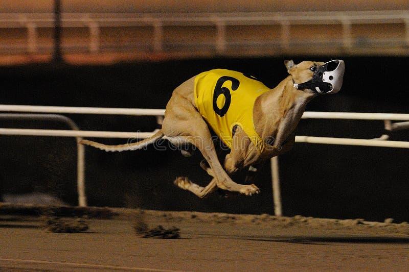 Luftburen tävlings- vinthund fotografering för bildbyråer