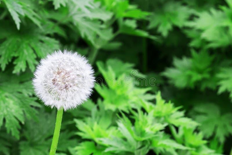 Luftmaskrosor på ett grönt fält arkivfoto