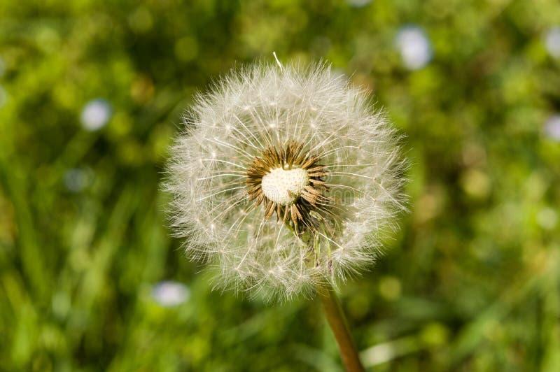 Luftmaskrosor på ett grönt fält arkivbild