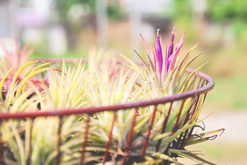 Luftväxt med vetenskaplig namnTillandsia som växer i trädgård dekorerat arkivfoton
