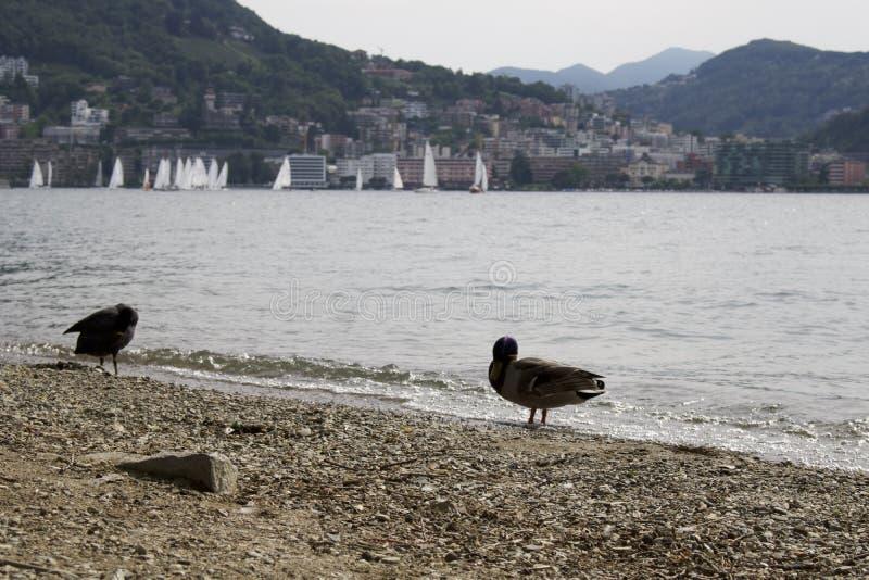 Lugano, die Schweiz - Enten nähern sich Schweizer Berg der Seeküste im Hintergrund stockfoto