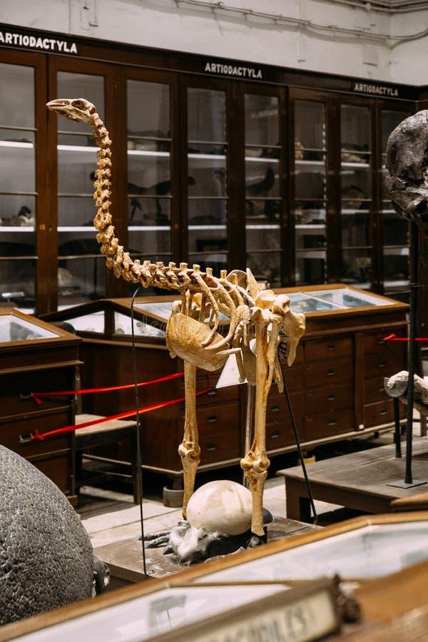 Lugar esquelético y objeto expuesto de la avestruz antigua dentro del museo indio en Kolkata, la India foto de archivo