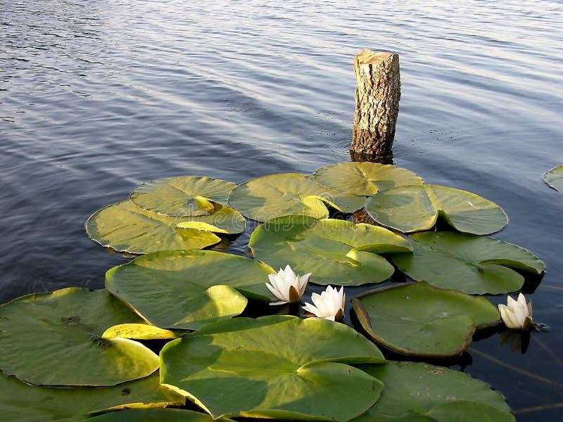 Lugar perfecto para la pesca - lirio de agua imagenes de archivo