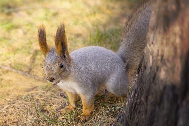 Lugenden Eichhörnchens Eichhörnchen, das auf Gras steht stockfotos