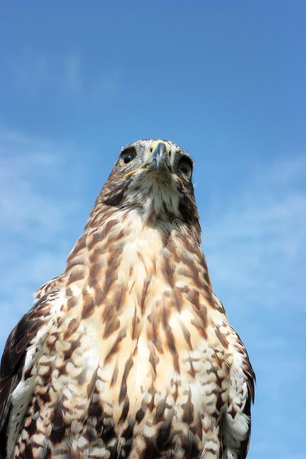 Lugger猎鹰 库存图片
