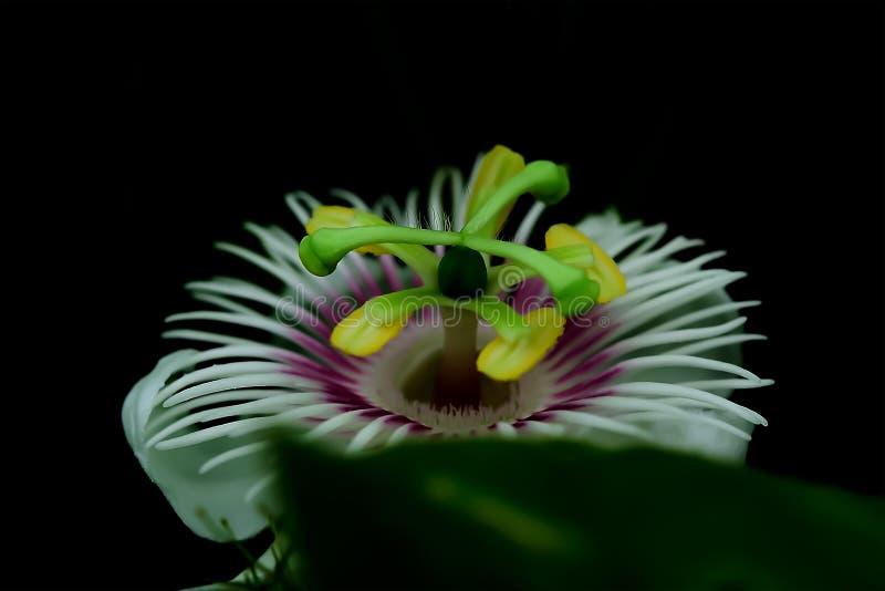 Luglio è una pianta che può svilupparsi in quasi tutto il suolo immagini stock