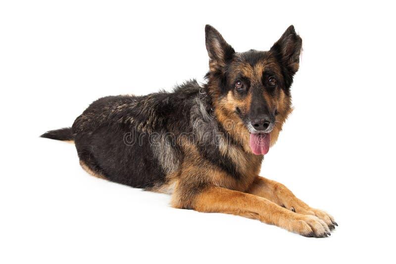 Lugna Dog Laying With för tysk herde som tunga ut hänger arkivbild
