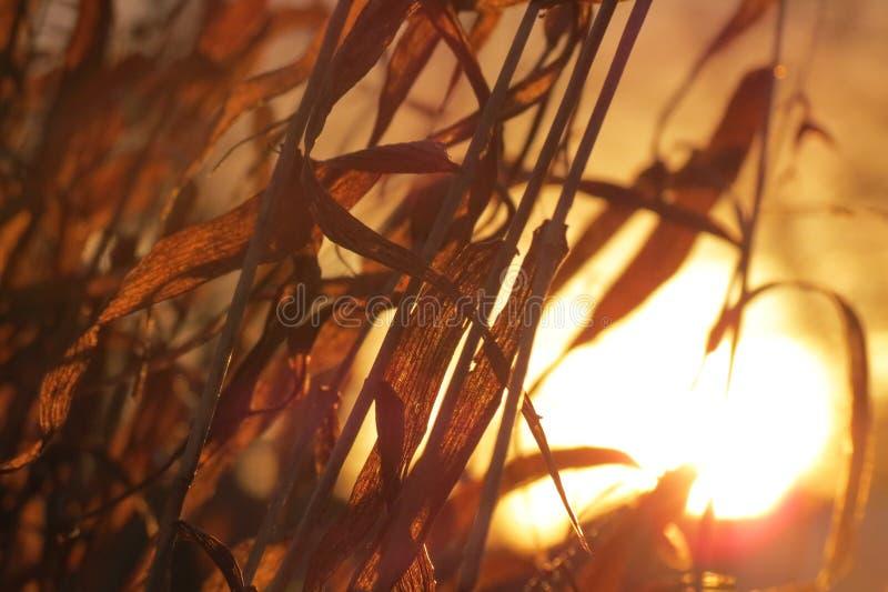 Lugna Guld--timme nedgångnärbild av högväxta gräs royaltyfri bild