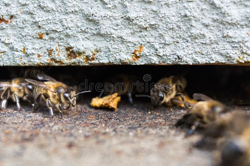 Lugo, Spain - August 2017. Lugo, Spain - August 2017: Bees inside a hive royalty free stock images